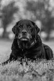 Old Labrador in the park Stock Photo