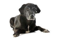 Old labrador retriever Stock Photos