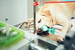 Old dog in animal hospital Royalty Free Stock Photo