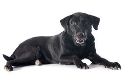 Old labrador retriever Stock Images