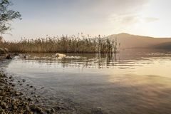 The old labrador retriever. An old god labrador swimming in the lake at sunset stock photography