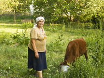 Old lady with calf. Old lady feeding little calf in garden in village Stock Photos