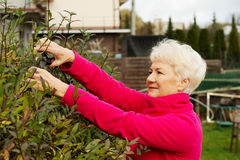 An old lady is cutting bushes. Stock Images