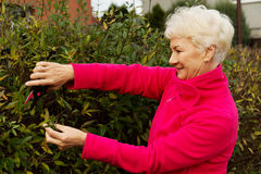 An old lady is cutting bushes. Stock Photography