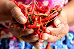 Old lady hold dry chili Stock Images