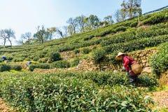Old lady tea farmer in Longjing Stock Photography