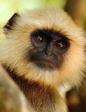 Old Langur portrait Stock Image
