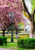 Old lantern in the sakura park. Lovely urban scenery in springtime Stock Images