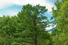 Old larch Stock Image