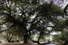 Old large live oak tree. In park Royalty Free Stock Photos