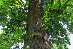 Old large oak (quercus robur) in a park Royalty Free Stock Images