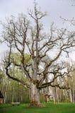 Old large oak tree Royalty Free Stock Image