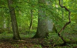 Old large oak trees Stock Images