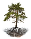 Old large pine with root on white Stock Images