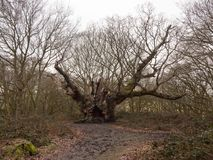 Old large spanning oak tree spring autumn old knobbley no leaves. Forest wood; essex; england; uk Royalty Free Stock Images