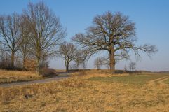 A lone oak at a country road. Old, large, stately oak. Other smaller trees in the background. It grows along a narrow, rural road. It is early spring. There are royalty free stock photo