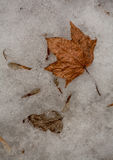 Old last. Year`s fallen leaves on the melted snow in early spring Stock Images