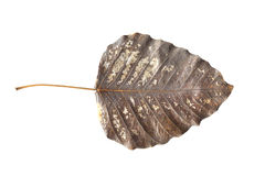 Old Leaf Isolated  for your great designs Royalty Free Stock Photo