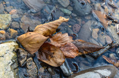 Old Leaf. In the river Stock Image