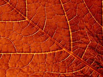 Old leaf texture. Fragment of the old red leaf with veins Royalty Free Stock Images
