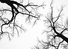 Old leafless bare trees isolated on white sky Royalty Free Stock Images