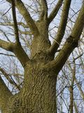 Old leafless oak tree Stock Photo