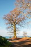 Old leafless tree on a field. Against sea and blue sky stock photography