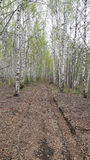 Old leaves paved road through birch trees forest Royalty Free Stock Images