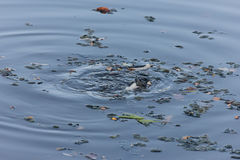 Old leaves in the water. Rostov-on-Don, Russia, September 18, 2011 Royalty Free Stock Image