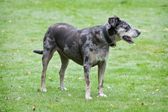 Old Leopard Dog. Older Catahoula witg Multi Color Patches Stock Image
