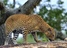 Old Leopard male on the rock. Royalty Free Stock Photos