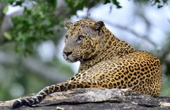 Old Leopard male with scars on the face lies on the rock. Stock Image