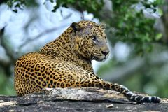 Old Leopard male with scars on the face lies on the rock. Royalty Free Stock Photography
