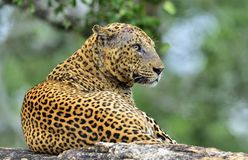 Old Leopard male with scars on the face lies on the rock. Stock Images