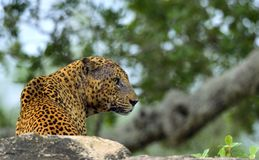Old Leopard male with scars on the face Royalty Free Stock Photo