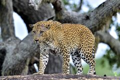 Old Leopard male with scars on the face on the rock. Royalty Free Stock Images