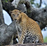 Old Leopard male with scars on the face on the rock. Royalty Free Stock Image