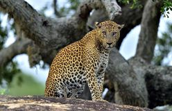 Old Leopard male with scars on the face on the rock. Royalty Free Stock Photos