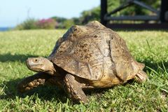 Old Leopard Tortoise in Tanzania, Africa royalty free stock photo