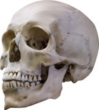 Old light grey human skull illustration Royalty Free Stock Photography