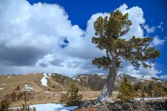 Old limber pine in the Rocky Mountain foothills, Alberta Stock Images