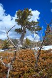 Old limber pine in the Rocky Mountain foothills, Alberta Royalty Free Stock Image
