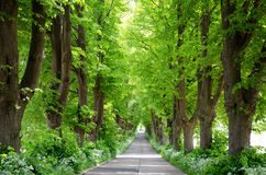 Old lime-tree avenue Stock Photos