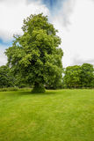 Old Lime tree In lincolshire Stock Photo