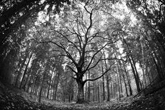 Old linden. Forest, black and white Royalty Free Stock Images
