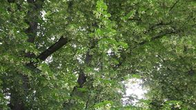 Old linden tree branches with flowers blooms move in wind tilt up. 4K stock video footage
