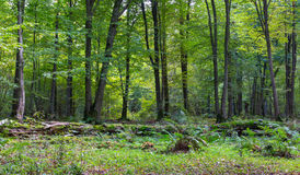 Old linden tree broken lying. In deciduous stand with ferns, Bialowieza Forest, Poland, Europe Royalty Free Stock Photography