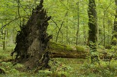 Old linden tree fallen down. By storm, root visible Stock Images
