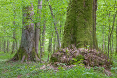 Old linden trees at summertime forest. Old linden trees at summertime Bialowieza Forest stand stock photography