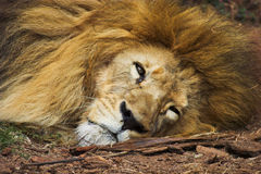 Old Lion. An aged male lion resting Stock Images